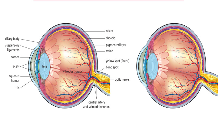 The Human Eye Information Westside Eye Clinic